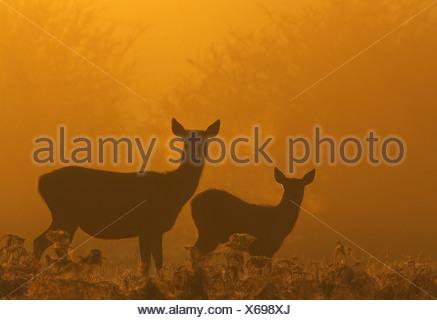 Red deer (Cervus elaphus) and Calf at dawn. Bradgate Park. Leicestershire. UK - Stock Photo