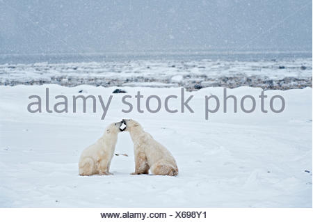 Polar bears sparring Ursus maritimus on frozen tundra, Churchill, Manitoba, Canada - Stock Photo