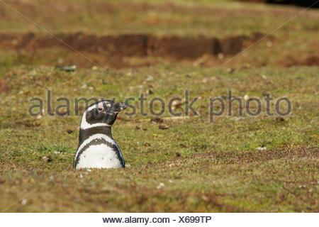 Magellanic Penguin (Spheniscus magellanicus) at its nesting colony in the Falkland Islands. - Stock Photo
