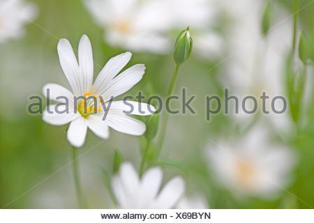 Lesser Stitchwort (Stellaria graminea) between grass - Stock Photo