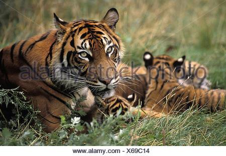 Sumatran Tiger,   panthera tigris sumatrae, Mother and Cub - Stock Photo