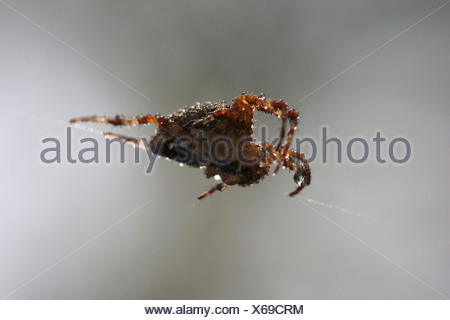 GARDEN SPIDER - Stock Photo