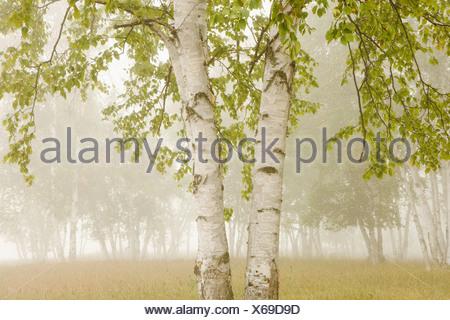 thunder bay, ontario, canada; birch trees in the fog Stock Photo