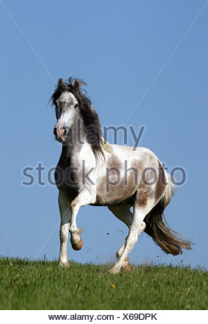 Oberoderwitz, Germany, Andalusian trot on pasture - Stock Photo