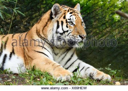 Siberian tiger lying - Stock Photo