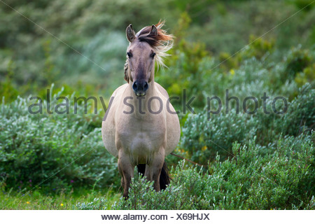 Konik horse (Equus przewalskii f. caballus), standing between shrubs, Belgium - Stock Photo