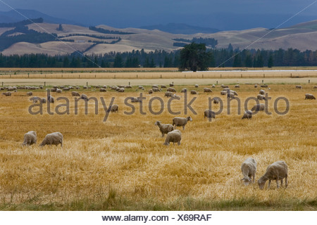 Grazing sheep (Ovis orientalis Aries) in a golden field, Mouse Point, South Island, New Zealand - Stock Photo