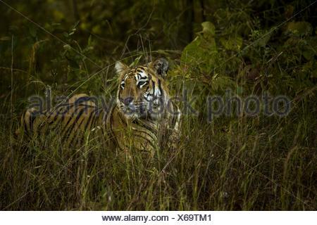 A Bengal tiger, Panthera tigris tigris, rests in tall grass. - Stock Photo