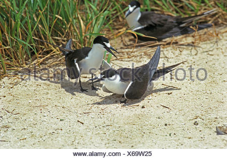 Sooty Tern, sterna fuscata, Group, Australia - Stock Photo