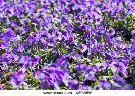 Ein Blütenmeer - lilafarbene Stiefmütterchen - Stock Photo