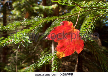 A red maple leaf rests on a conifer bow. - Stock Photo
