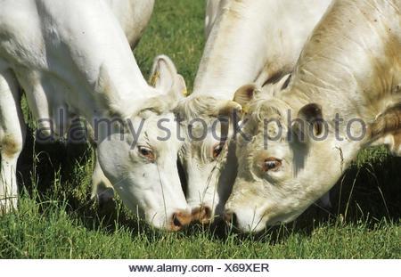 Charlois Kuh, Charlois cow - Stock Photo