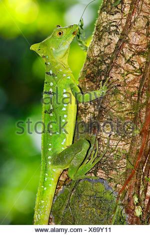 green basilisk, plumed basilisk, double-crested basilisk (Basiliscus plumifrons), juvenile, Costa Rica - Stock Photo