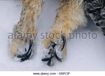Great Horned Owl (Bubo virginianus) Adult killed by Golden Eagle (Aquila chrysaetos) Winter, Ontario,  Canada - Stock Photo