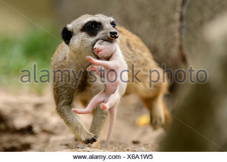 Meerkat, female carrying young / (Suricata suricatta) - Stock Photo