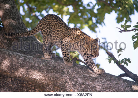 Leopard (Panthera pardus), seven month old cub prowling on a branch - Stock Photo