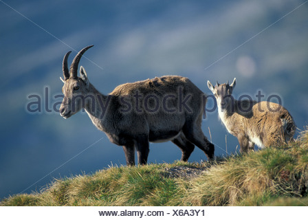 Alpine Ibex, Bouquetin, Steinbock (Capra ibex), adult with fawn - Stock Photo