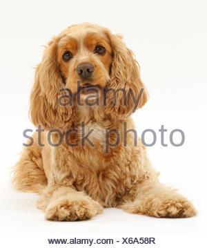 Golden Cocker Spaniel dog, Henry, age 3 years. - Stock Photo