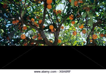 Oranges on tree low angle view - Stock Photo