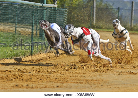 Whippet (Canis lupus f. familiaris), grayhound racing - Stock Photo