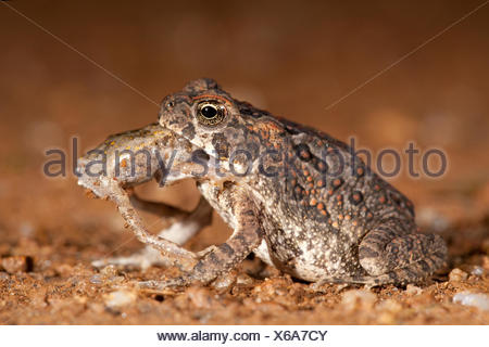 photo of a cane toad eating another juvenile cane toad Stock Photo