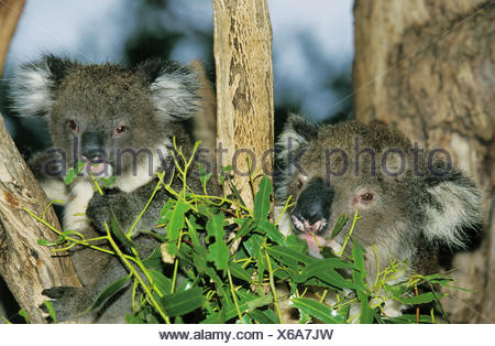 Koala or ash-grey koala,Phascolarctos cinereus,mother animal,young animal,eat,eucalyptus,Australia, - Stock Photo