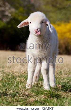Lamb standing on grass - Stock Photo