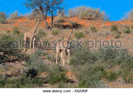 Giraffes (Giraffa camelopardalis), two young on a red sand dune, Kgalagadi Transfrontier National Park, Northern Cape - Stock Photo