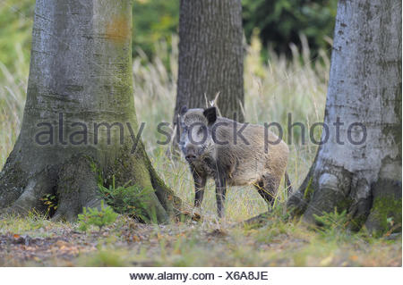 Wild boar in Forest, Germany - Stock Photo