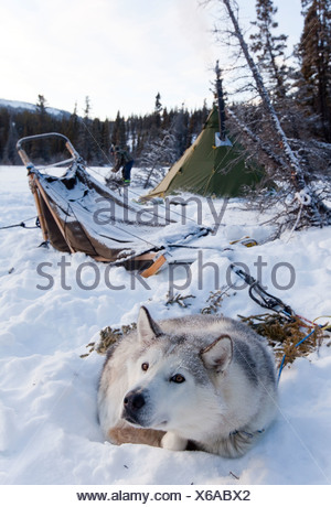 Sled dog, Siberian Husky resting in snow, dog sled, camp, teepee behind, Yukon Territory, Canada - Stock Photo