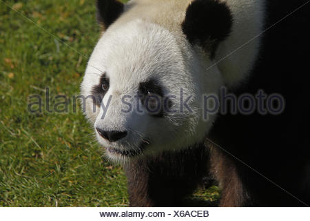 Giant Panda, ailuropoda melanoleuca, Portrait of Adult - Stock Photo