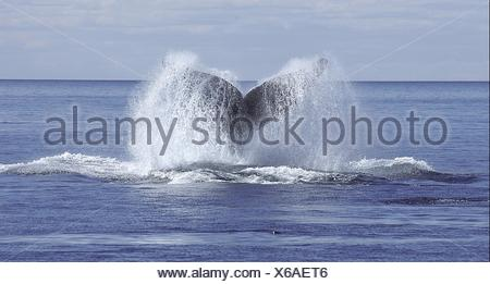 The fluke of a southern right whale, Eubalaena australis. - Stock Photo