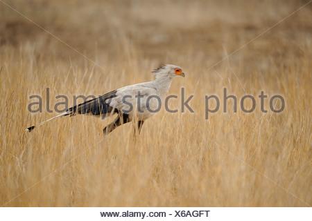 Secretarisvogel in zijaanzicht lopend door savannegras op zoek naar prooi, Secretarybird in sideview walking through savanna grass seeking for prey - Stock Photo