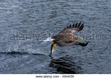 A white-tailed sea eagle, Haliaeetus albicilla, fishing. - Stock Photo