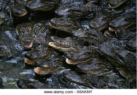 American Alligator, alligator mississipiensis, Babies in Crocodile Farm - Stock Photo