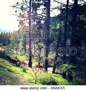 Canada, British Columbia, Okanogan Wild Horses - Stock Photo