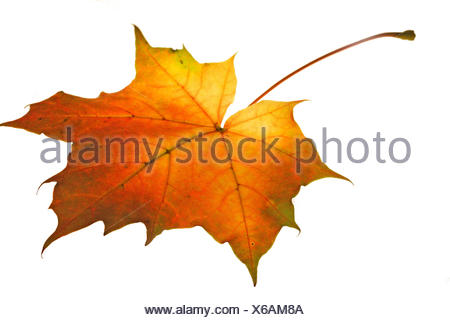 optional maple leaf veins autumn colouring orange design shaping formation shape model figure structure red leaves foliage fall - Stock Photo