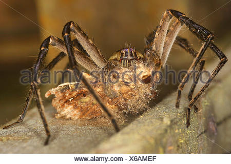 Wandering spider, Banana spider (Cupiennius getazi), front view, close up, Costa Rica - Stock Photo