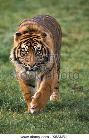 Sumatran Tiger, panthera tigris sumatrae, Male walking - Stock Photo