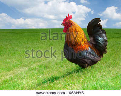 Close up of rooster in sunny rural field - Stock Photo