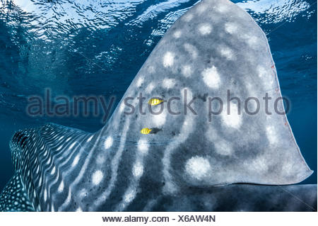 The fin of a whale shark in Djibouti's Gulf of Tadjoura. - Stock Photo