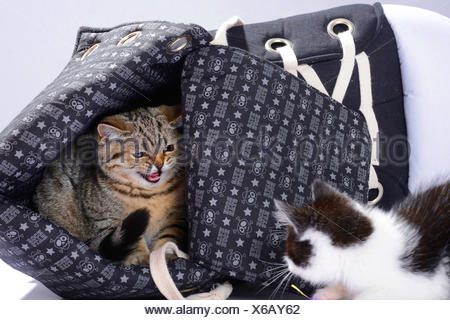 British Shorthair (Felis silvestris f. catus), two little kittens snarling at each other - Stock Photo