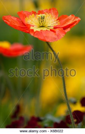 Poppy flower (Papaver sp.) on Mainau Island in Lake Constance, Baden-Wuerttemberg - Stock Photo