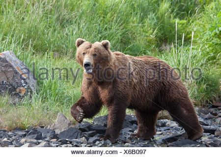 Grizzly walking on a rocky beach with green grass in the background at Geograhic Harbor, Alaska during Summer - Stock Photo