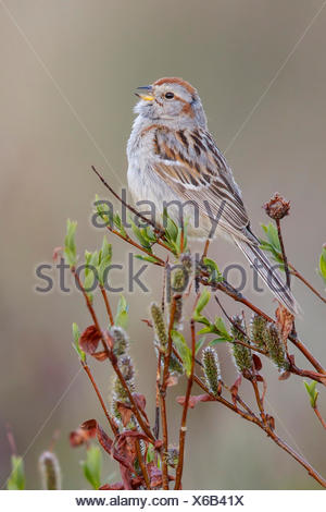 American Tree Sparrow (Spizella arborea) perched on a branch in Nome, Alaska. - Stock Photo