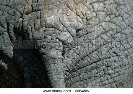 African elephant (Loxodonta africana), close-up of tail base, Tanzania, Tanzania, Tarangire National Park - Stock Photo
