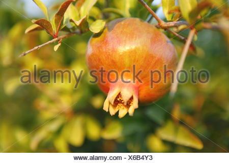 Beerenfruechte Natur, Farbstimmung gruen, Granatapfelbaum, Grenadine, Heilpflanzen, Kulturpflanzen, Natur, Nutzpflanzen, Obst, P - Stock Photo