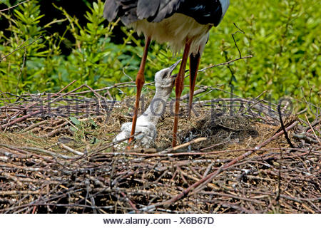 White Stork, ciconia ciconia, Adult with Chick on Nest - Stock Photo