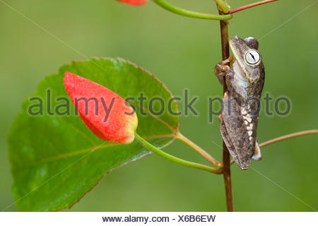 photo of a rattle voiced tree frog on a branch Stock Photo