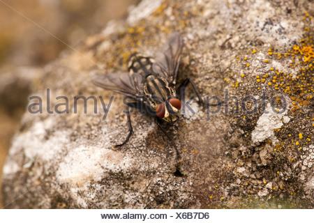 Common flesh fly (Sarcophaga carnaria) - Stock Photo